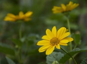 A trio of yellow flowers