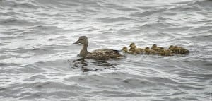 Mother Duck and Duckilings