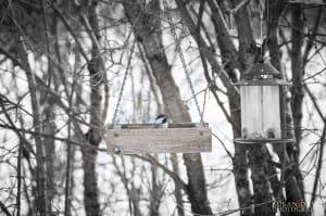Chickadee in a Box