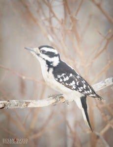 Downey Woodpecker Female