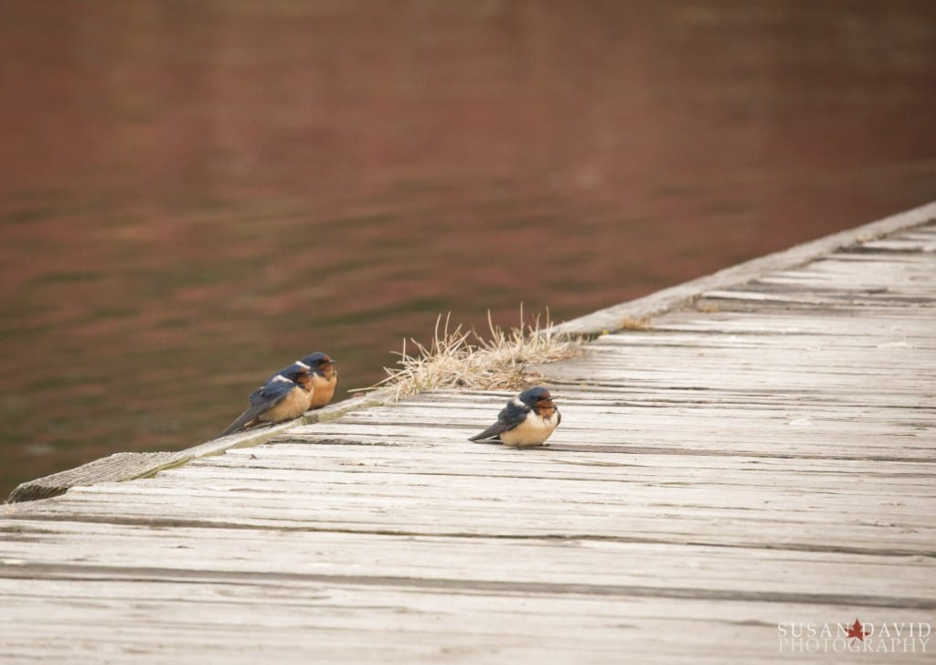 Trio of Barn Swallows