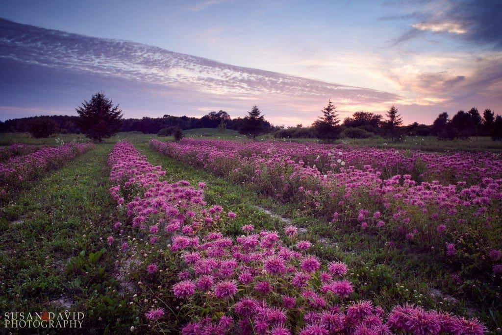 Fields of Bergamot