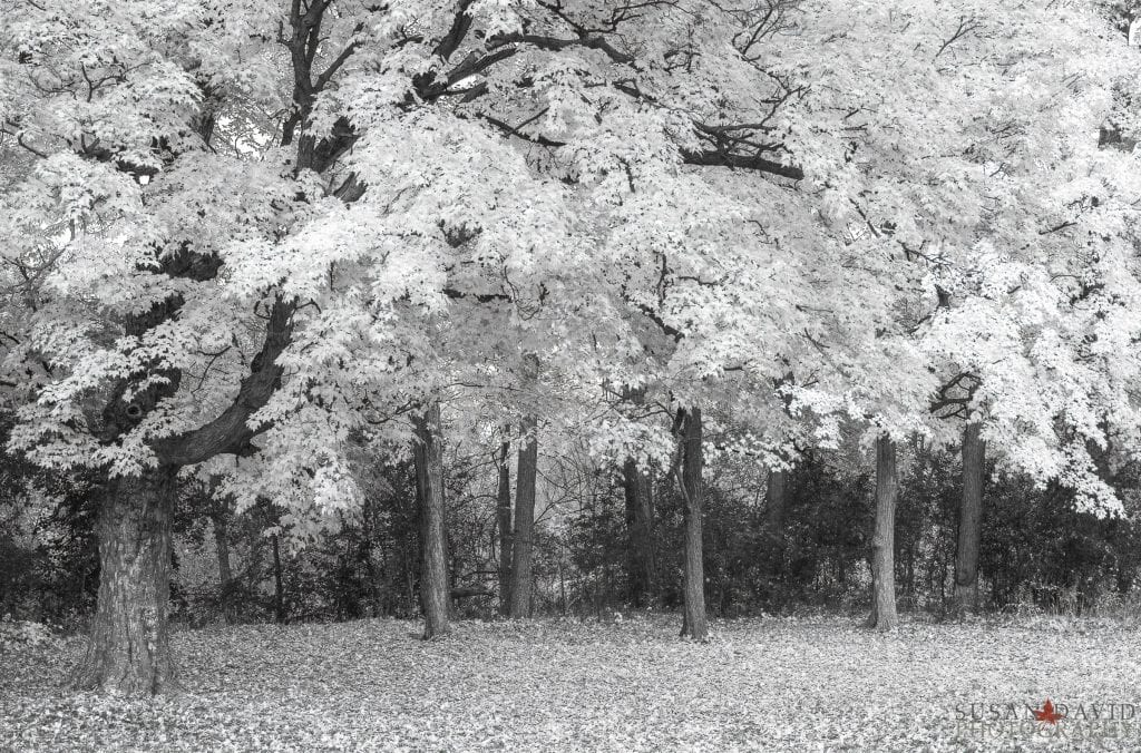 InfraRed Autumn Trees