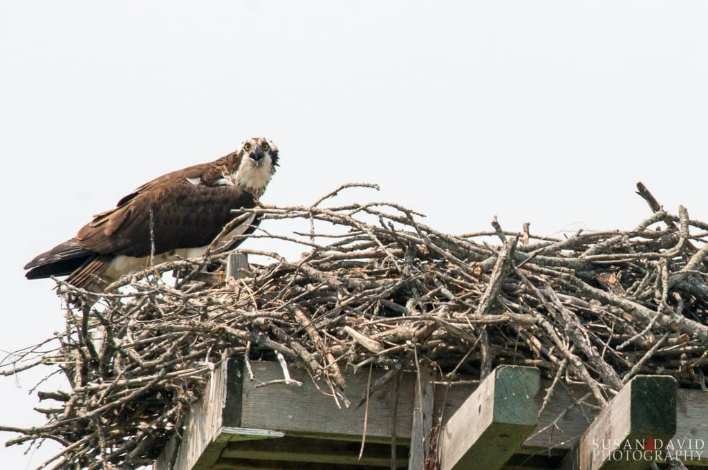 Osprey with Nest