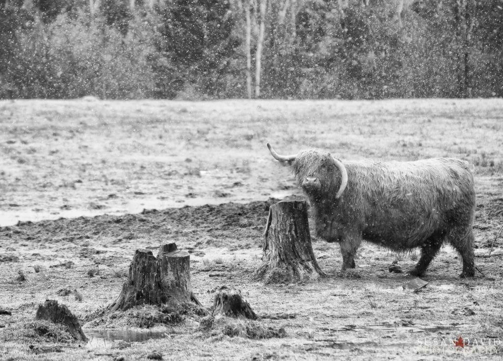 Highland Ox