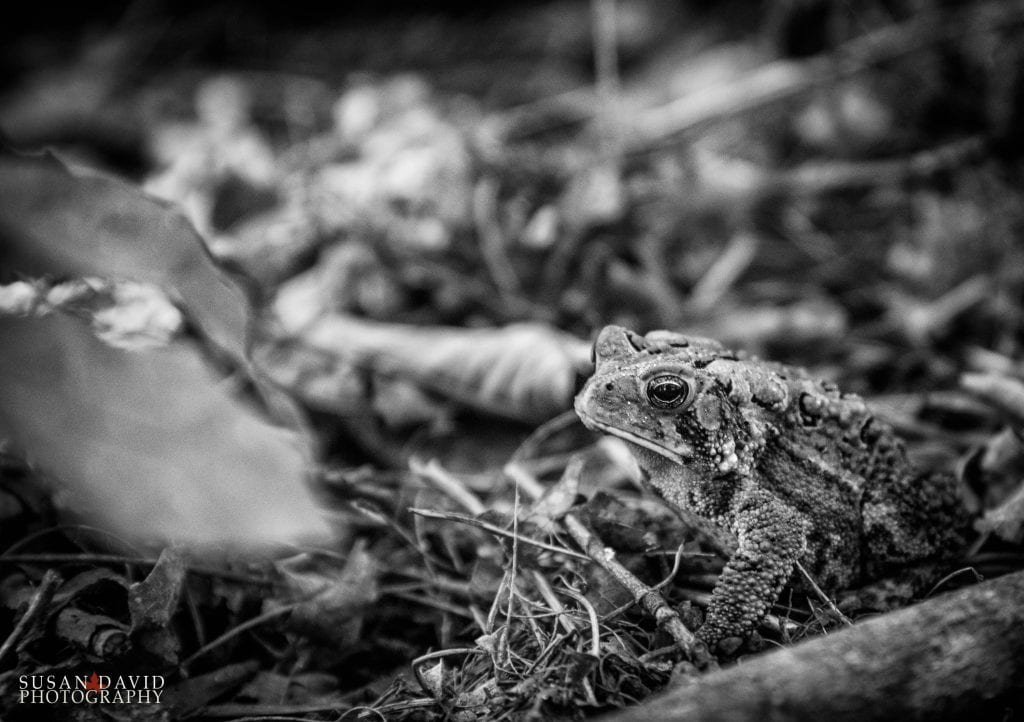 American Toad BW