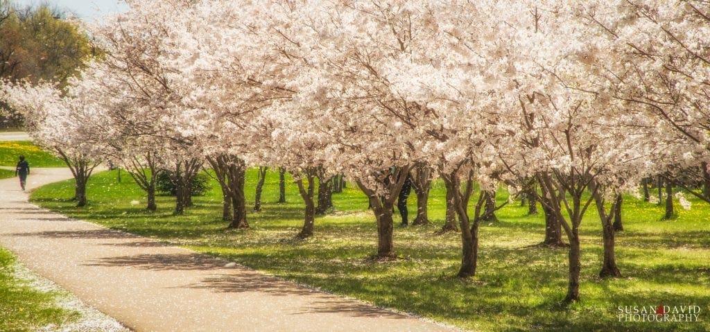 Raining Cherry Blossoms