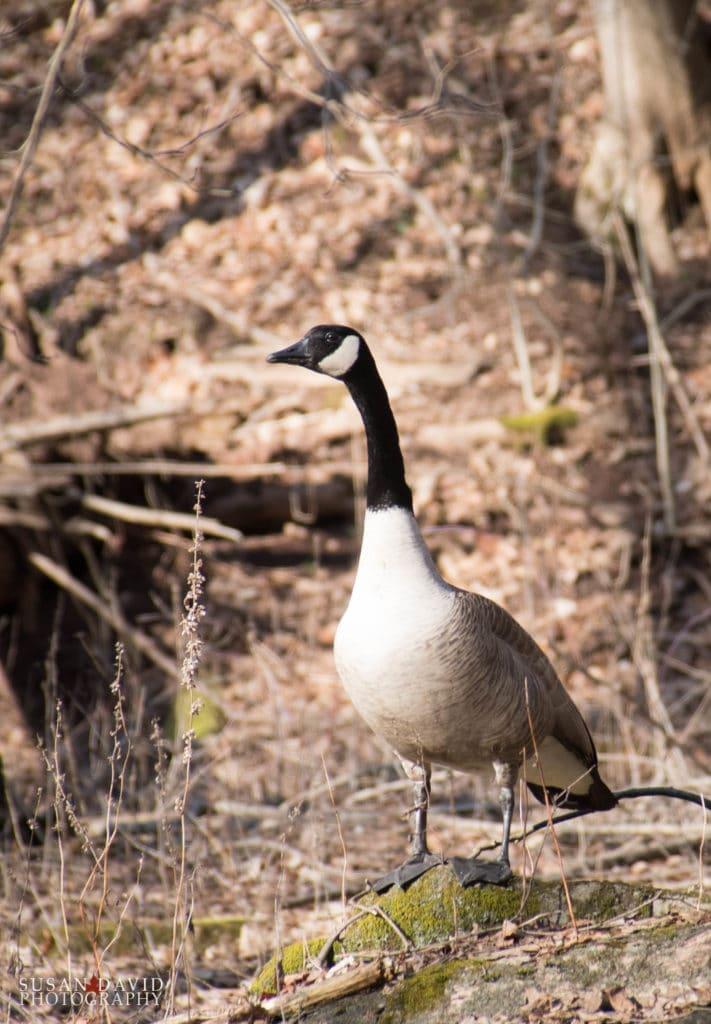 Goose Crier