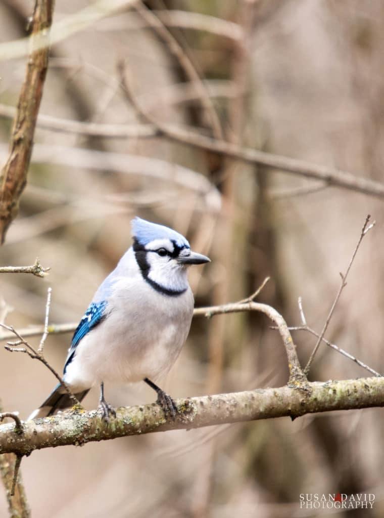 Male Bluejay