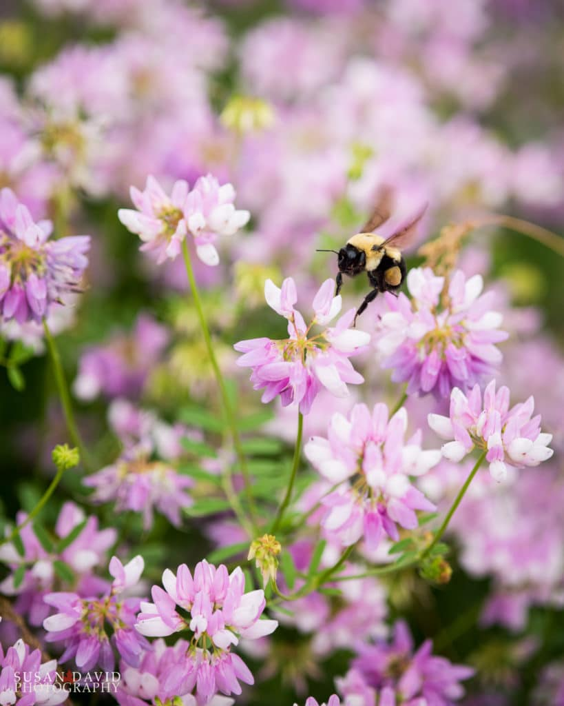 Bee with Crown Vetch flowers