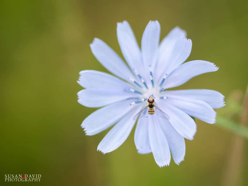 Hoverfly on Chicory Bloom