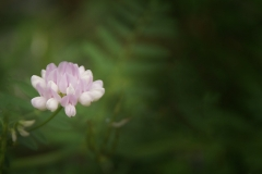 Crown-vetch