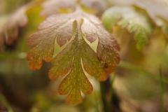 Furry_Leaf