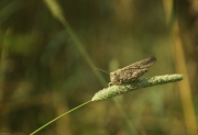 Carolina_Grasshopper