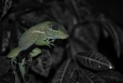 Green_Lizard