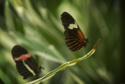 Heliconius_butterlies