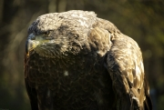 Juvenile_Bald_Eagle