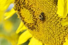 Gathering_Pollen
