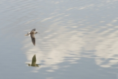 Lesser_Yellowlegs_in_Flight