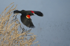 Red-Winged_Blackbird_in_Flight