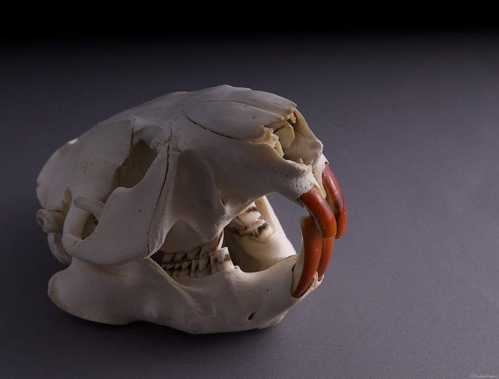 beaver-skull-1-1024x778.jpg