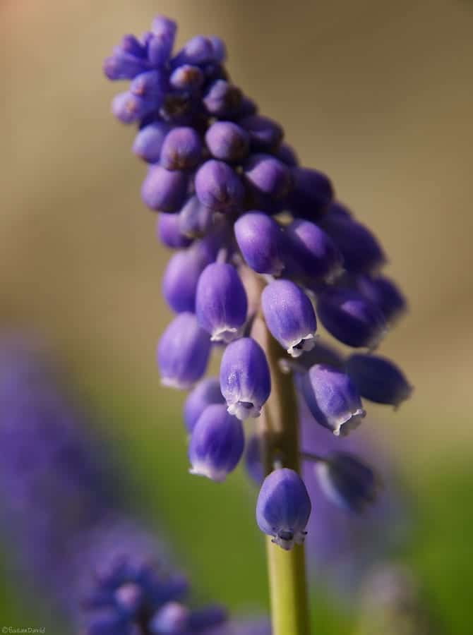 grape-hyacinthe-1.jpg