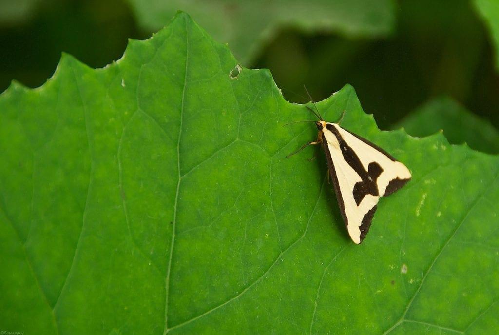 clymene-moth-1-1024x687.jpg