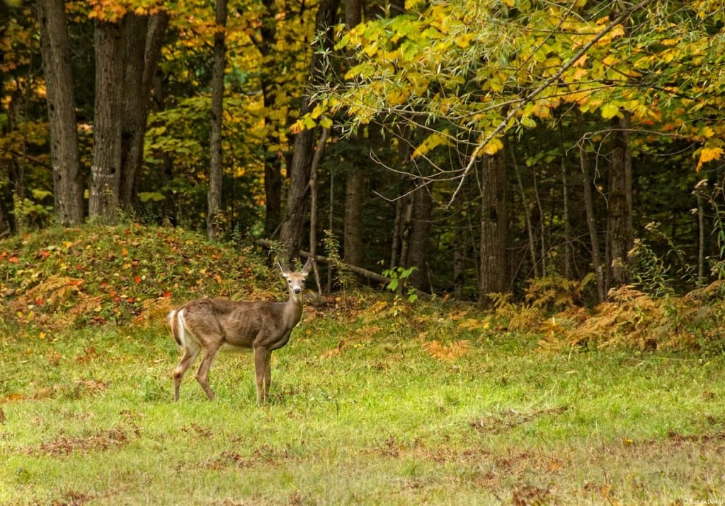 White-tailed-Deer-1024x716.jpg