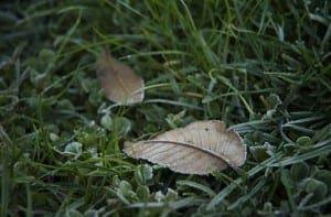 Iced Leaf