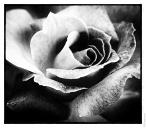 Rose in Black and White