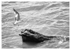 Seagull landing on tree trunk