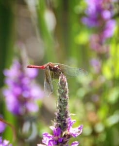 Dragonfly-on-Purple-Loosestrife1-245x300-1.jpg
