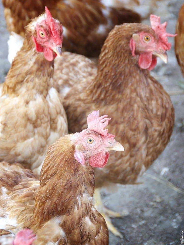 Chickens-768x1024.jpg
