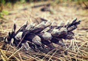 Fallen-Pine-Cone-300x209-1.jpg