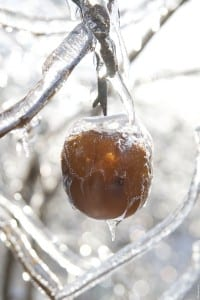 Ice Apple Anyone?