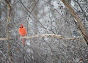 Cardinal-Meets-Junco-300x214.jpg