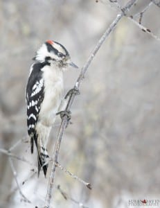 Downey Woodpecker Male