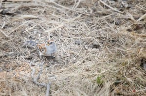 American-Tree-Sparrow-300x198.jpg