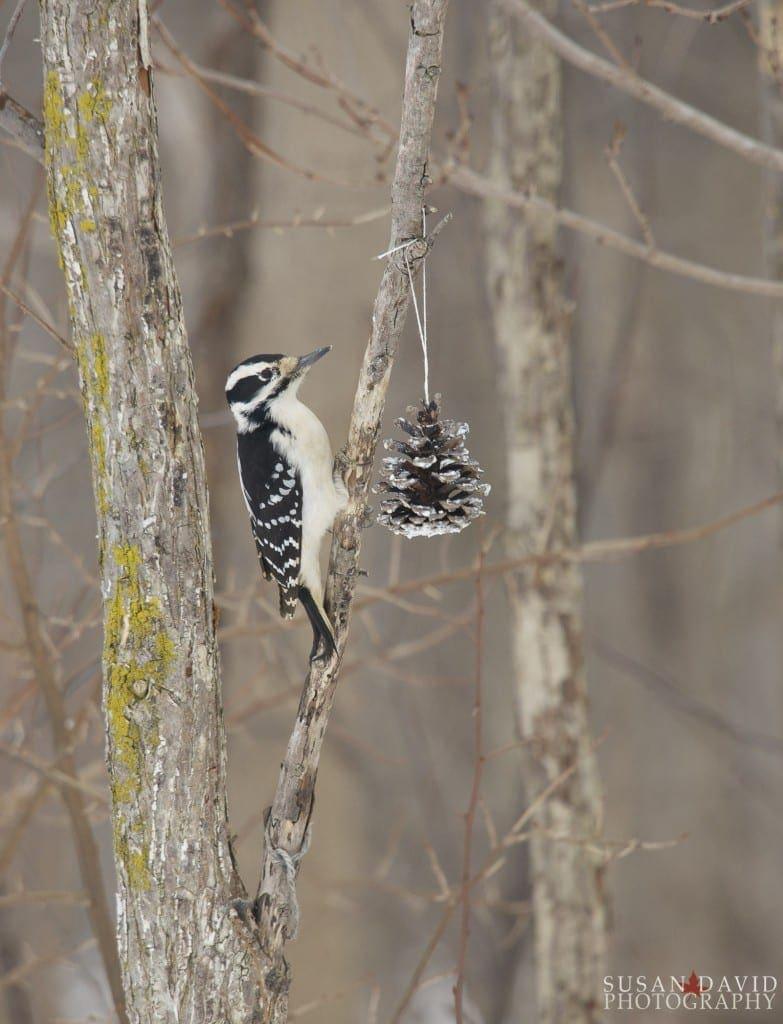 Female-Downey-Woodpecker-783x1024.jpg