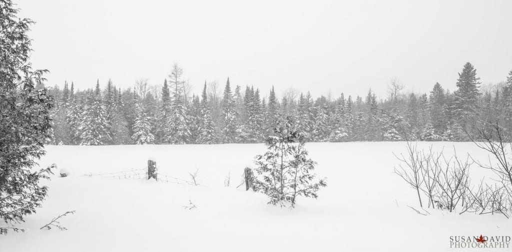 Pines-in-Snow-1024x505.jpg