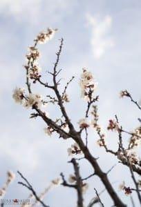 Blooming Cherry