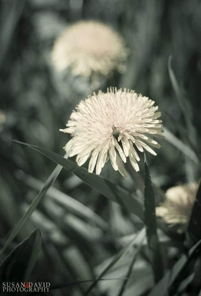 Dandelions-Reach-696x1024.jpg
