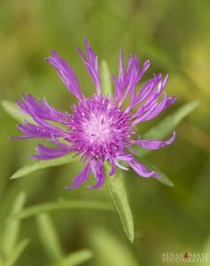 Spotted-Knapweed-237x300-1.jpg