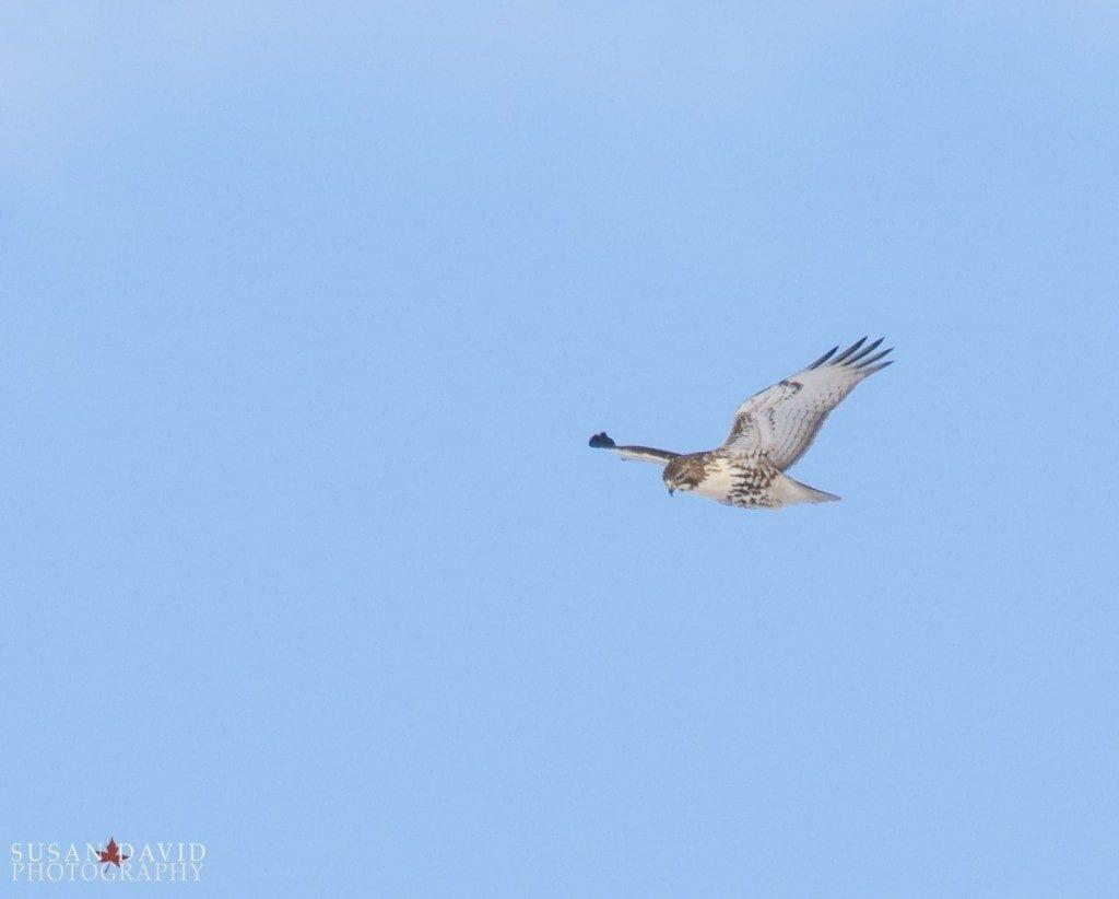 Hawk-overhead-1024x822-1-1024x822.jpg