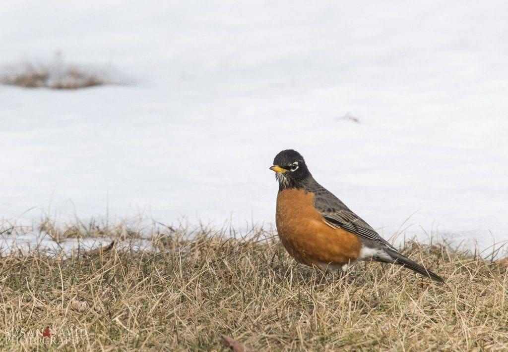 Spring-Robin-1024x711-1024x711.jpg
