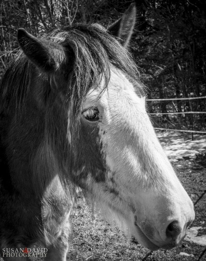 Young-Clydesdale-809x1024-809x1024.jpg