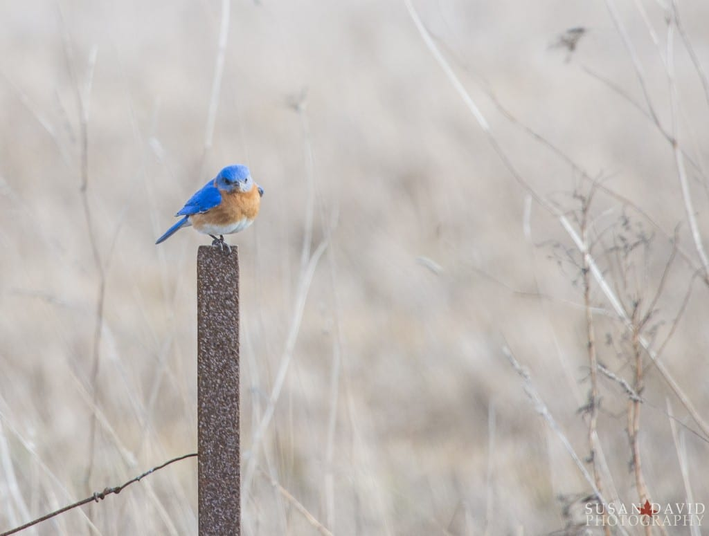 Male-Eastern-Bluebird-1024x775.jpg