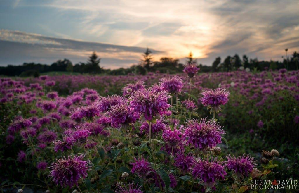 Field-of-Purple-1024x660.jpg