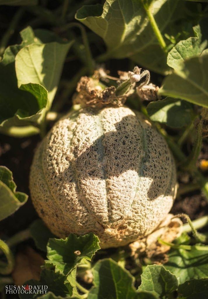 Melon-713x1024.jpg