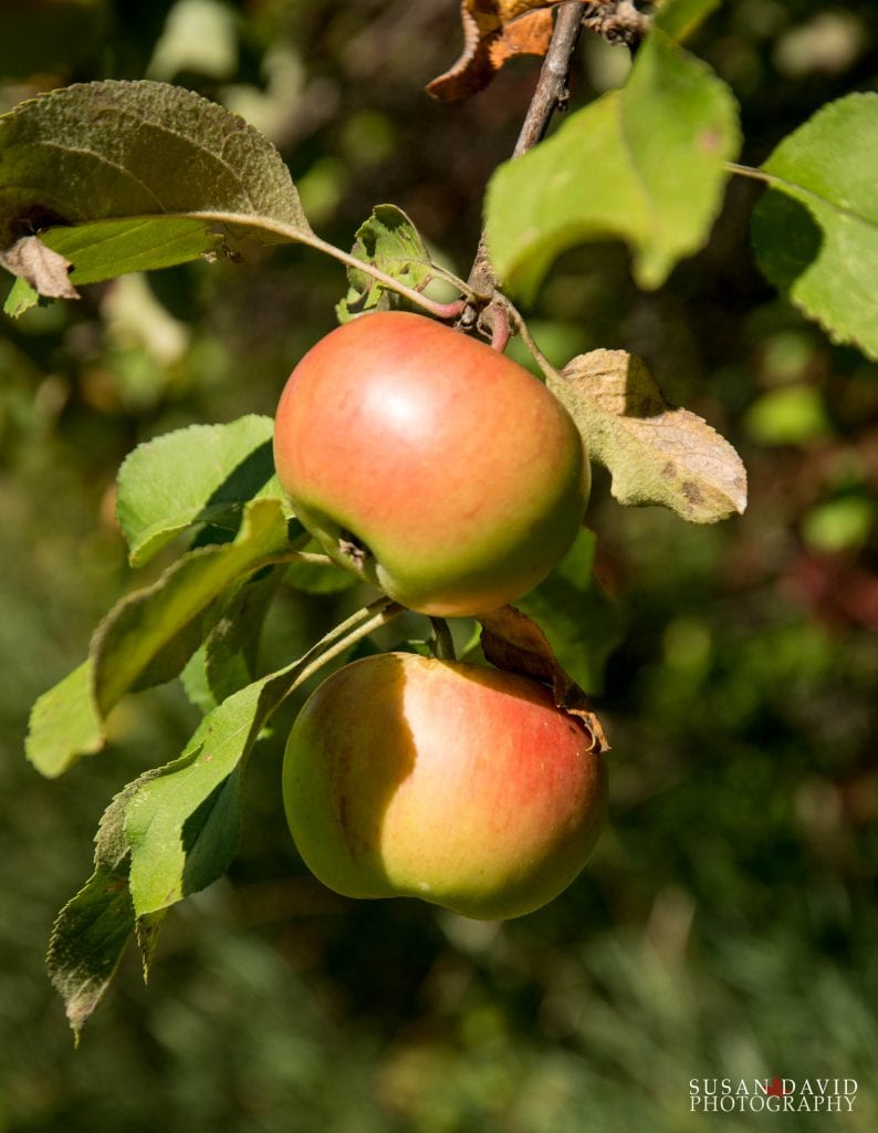 Wild-Apples-794x1024.jpg